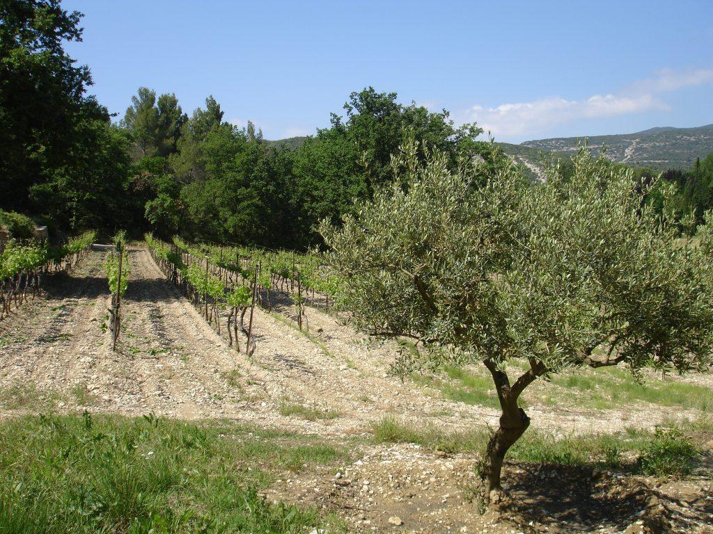 Vigne_olivier